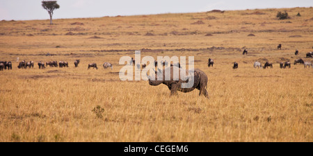 Black Rhinoceros, Masai Mara National Reserve, Kenya, East Africa - Stock Photo