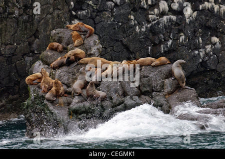 Stellar Sea Lion at Kenai Fjords National Park, Alaska - Stock Photo