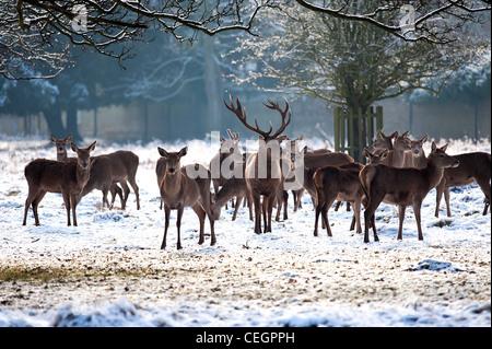 A herd of Red Deer in Bushy Park in London. - Stock Photo