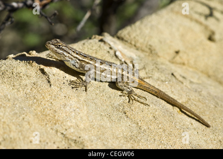 Southwestern Fence Lizard, (Sceloporus cowlesi), Ojito Wilderness, Sandoval county, New Mexico, USA. - Stock Photo