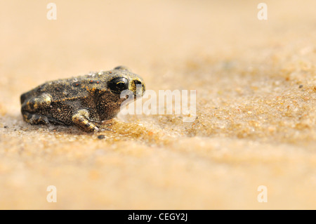 9 week old Common Frog (Rana temporaria) juvenile froglet on sand, the Netherlands - Stock Photo