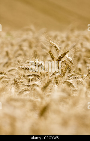 Souisson wheat ready to be harvested, at farm on the north downs, Surrey, uk - Stock Photo
