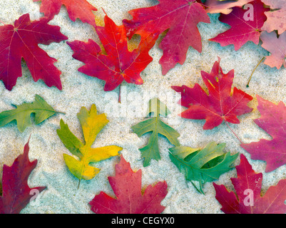 Close up of bigtooth maple leaves in fall color. Zion National Park, Utah - Stock Photo