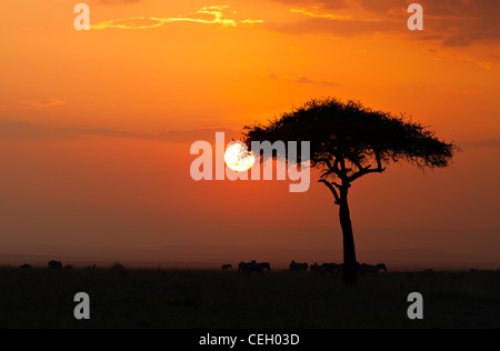 Sunset in the Masai Maria National Reserve with Acacia tree and silhouttes of Zebras, Keya, Africa - Stock Photo