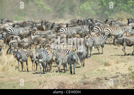 Wildebeest, Connochaetes taurinus, and Zebra gather on the bank of the Mara River, in preparation to cross the river. - Stock Photo