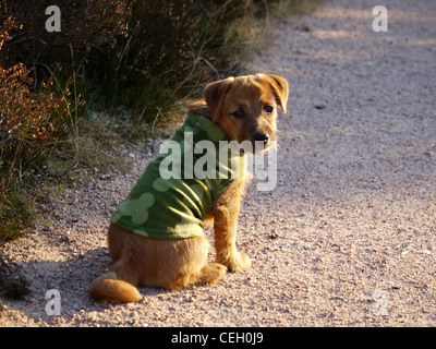 Cute terrier cross puppy in fleece jacket against the cold - part Parsons Jack Russell part Norfolk Terrier - Stock Photo