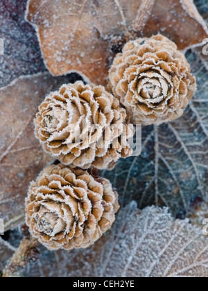 Frosted Larch cones - Stock Photo