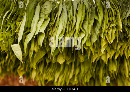 `green tobacco leaves,hanged up to dry Nicotiana sp. - Stock Photo