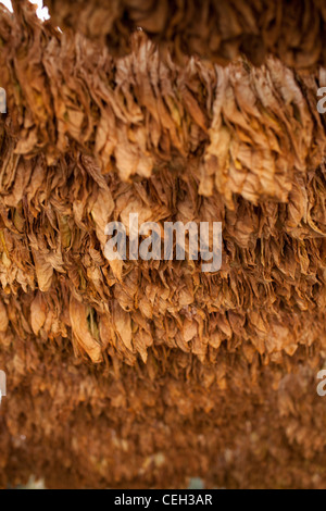 Tobacco farming. Tobacco (Nicotiana sp.) leaves drying in the shade. Tobacco leaves are ready for harvesting and - Stock Photo