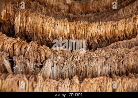 Tobacco farming. Tobacco (Nicotiana sp.) leaves drying in the shade - Stock Photo