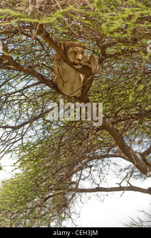 Lioness in Tree Sleeping - Stock Photo