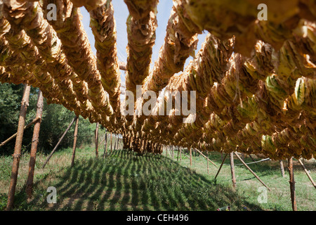Tobacco farming. Tobacco (Nicotiana sp.) leaves drying in the shade. - Stock Photo