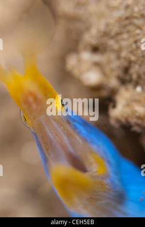 A male blue Ribbon moray eel with the mouth wide open showing its tiny theet. Bunaken Marine Park Indonesia - Stock Photo