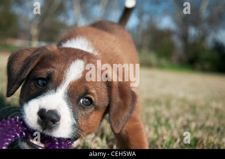 Happy little puppy tugging on her toy in the grass - Stock Photo