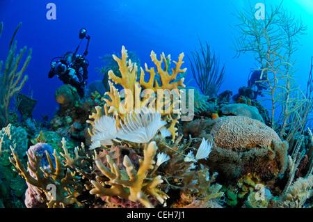 Caribbean coral reef with polychaets and scuba diver, Cienfuegos, Punta Gavilanes, Cuba, Caribbean - Stock Photo