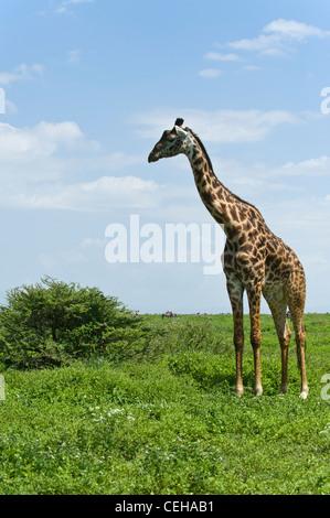 Maasai giraffe Giraffa camelopardalis Ndutu in Ngorongoro Conservation Area - Tanzania - Stock Photo