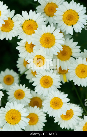 Anthemis tinctoria . Sauce Hollandaise flowers - Stock Photo