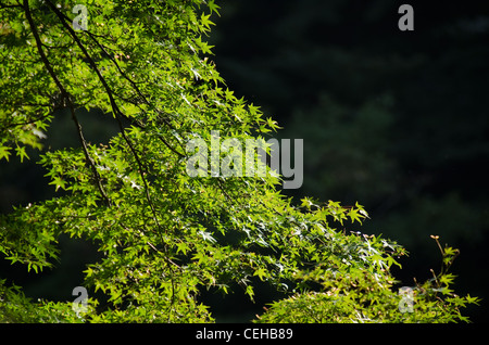 Green leaves of the japanese maple in summer, foliage - Stock Photo