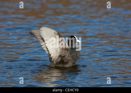 Eurasian Coot (Fulica atra) flapping wings while swimming in lake - Stock Photo
