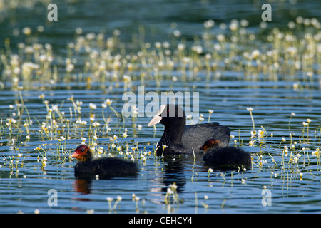 Eurasian Coot (Fulica atra) swimming with chicks in pond - Stock Photo