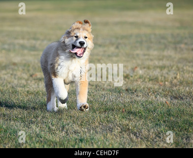 Great Pyrenees puppy, (Pyrenean Mountain Dog) running in park. - Stock Photo