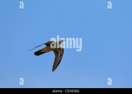 Common Cuckoo (Cuculus canorus) in flight, Germany - Stock Photo
