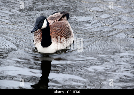 a canada goose swims in a lake with it's reflection in the water - Stock Photo