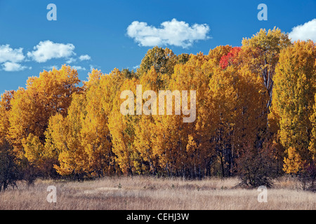 Afternoon clouds pass over this grove of autumn gold aspen trees in Washington's Glenwood Valley. - Stock Photo