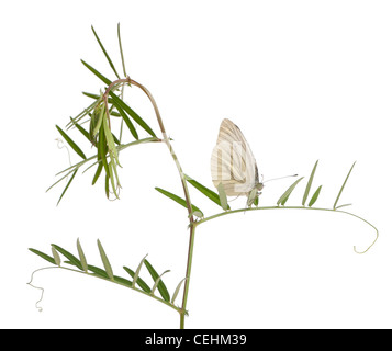 Green-veined White butterfly, Pieris napi, in front of white background - Stock Photo