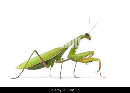 Female European Mantis or Praying Mantis, Mantis religiosa, in front of white background - Stock Photo