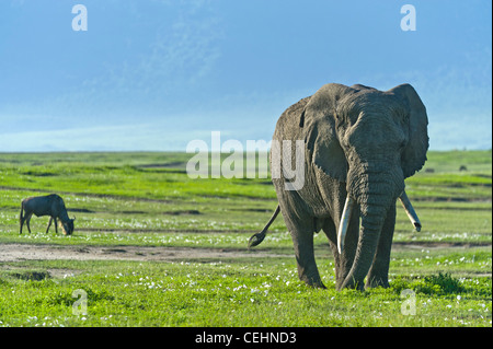 African elephant Loxodonta africana and Blue Wildebeest Connochaetes taurinus in the Ngorongoro Crater Tanzania - Stock Photo