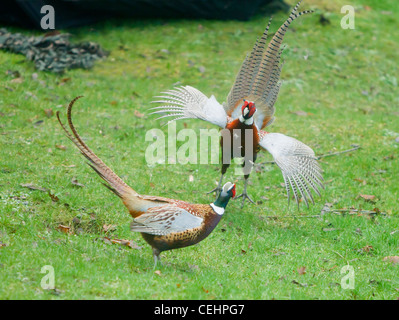 Pheasant Phasianus colchicus males fighting over territory in oxfordshire - Stock Photo