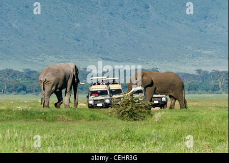 Tourists on safari watching two elephants (Loxodonta africana) taking measure of each other Ngorongoro Crater Tanzania - Stock Photo
