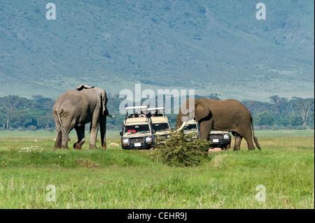 Tourists on safari watching two elephants (Loxodonta africana) taking measure of each other Ngorongoro Crater Tanzania - Stock Photo