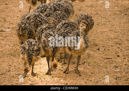 Ostriches on Ostrich Farm,Oudtshoorn,Oudtshoorn,Western Cape Province - Stock Photo