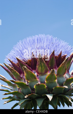 Globe artichoke (Cynara scolymus). close-up of flower against a bright blue sky. - Stock Photo