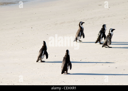 Penguins on Boulders  Beach,Cape Town,Western Cape Province - Stock Photo