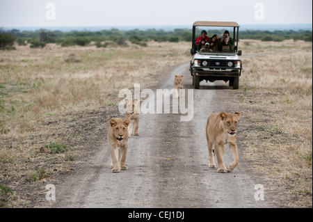 Lioness on road with game vehicle following,Madikwe Game Lodge,North West Province - Stock Photo