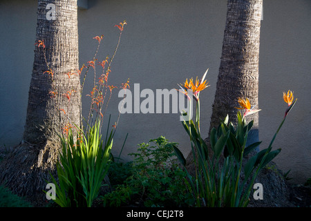 Bird of Paradise plants, known as Strelitzia reginae, a monocotyledonous flowering plant indigenous to South Africa - Stock Photo