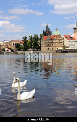 swans on the river in Prague - Stock Photo
