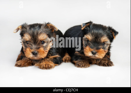 Two cute yorkshire terrier puppies on gray background - Stock Photo