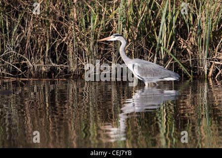Grey Heron stalking along the riverbank. - Stock Photo