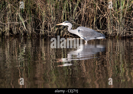 Grey Heron stalking on the riverbank. - Stock Photo