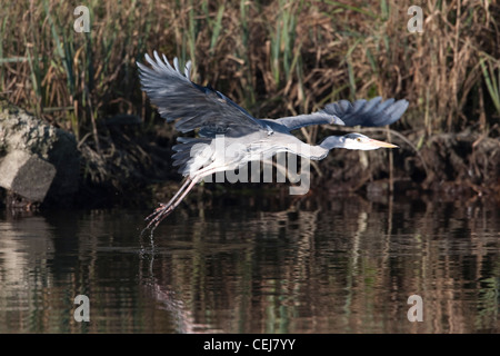 Grey Heron taking off from the riverbank. - Stock Photo