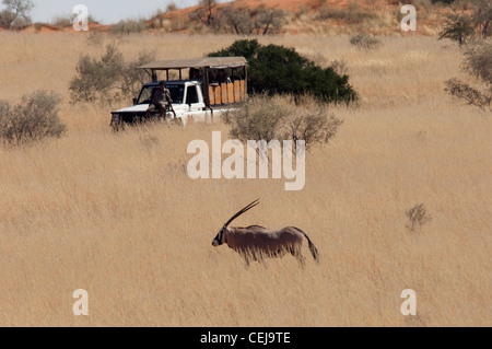 Gemsbok in grass seen during Game Drive run by Xaus Lodge,Kgalagadi Transfrontier Park,Northern Cape - Stock Photo