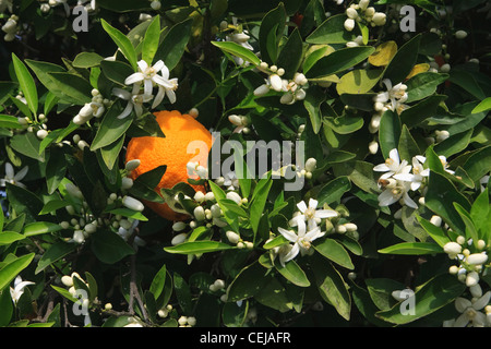 Agriculture - A mature harvest ready orange on the tree surrounded by Spring blossoms / near Orange Cove, California, - Stock Photo