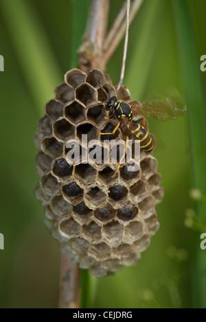 Wespe, wasp - Stock Photo