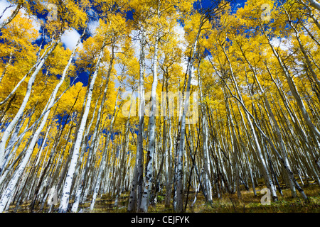Tall yellow aspen trees contrast against the blue sky in the Colorado Rocky Mountains. - Stock Photo