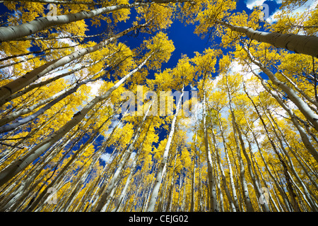 Surrounded by a tall forest of golden aspen trees in Fall along the Continental Divide in Colorado USA. - Stock Photo