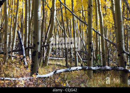Thick forest of aspen trees on the Continental Divide in the Colorado Rocky Mountains near Kenosha Pass. - Stock Photo